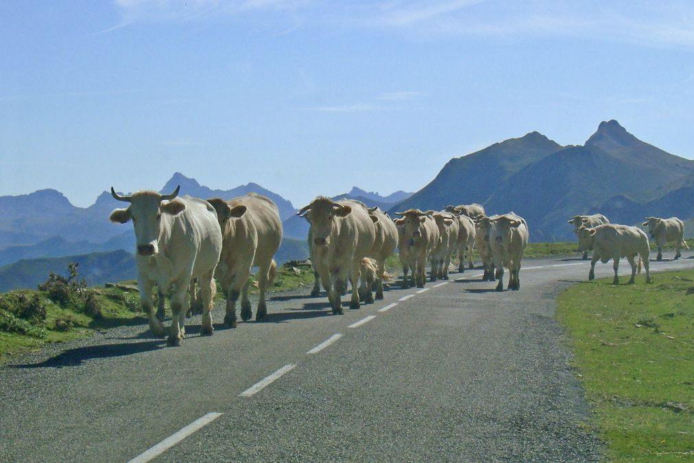 Vaches basque - coupdecoeurbasque.fr
