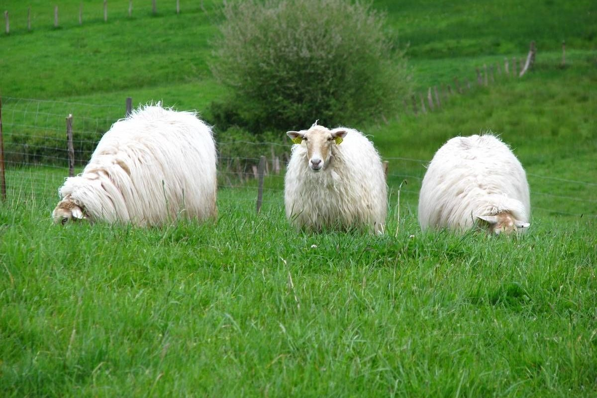 Moutons au Pays Basque - coupdecoeubasque.fr