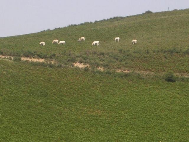 Urcuray - chemin des sources - balade en balcon - bovins et fougeraies